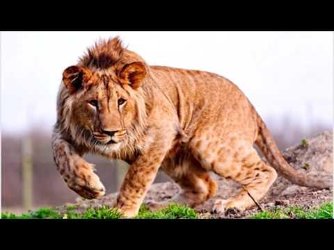 Версус! На что способен ЛЕВ! Лев против слона, крокодила, носорога!