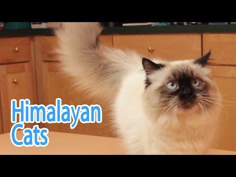 Himalayan Breed