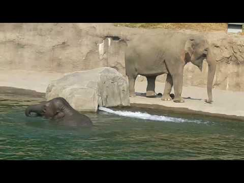 This Elephant Swims Like a Fish !