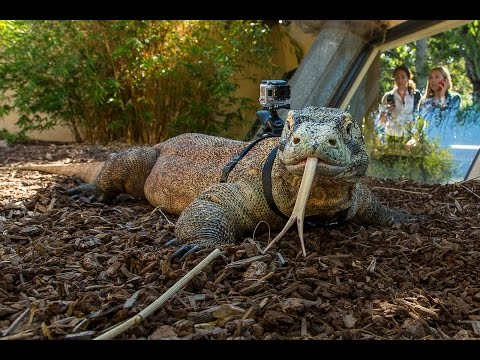 Komodo Dragon Wearing a GoPro at the San Diego Zoo