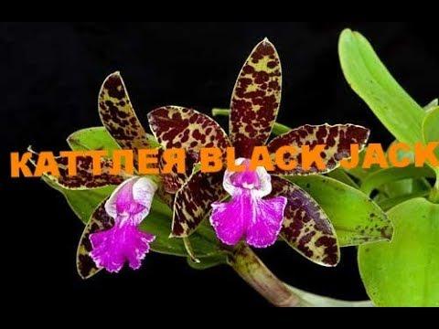КАТТЛЕЯ BLACK JACK НЕБОЛЬШИЕ ИЗМЕНЕНИЯ