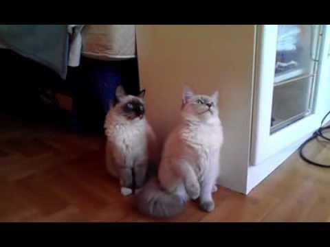 Siberian Cat - Neva Masquerade Kittens playing Cute Funny Video; Fife