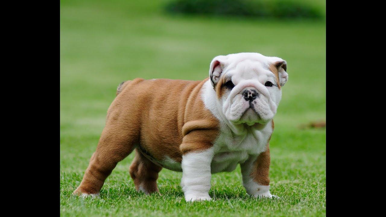 Pitbulls And Girls Wallpaper English Bulldog Puppies For Sale Josefina Female Youtube