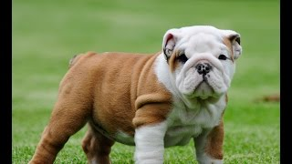 English Bulldog Puppies For Sale (josefina) Female