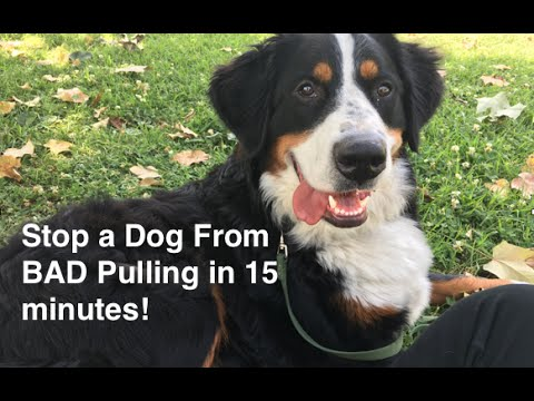 Stop Dog from Pulling in 15 minutes, Leash Training in 15 minutes