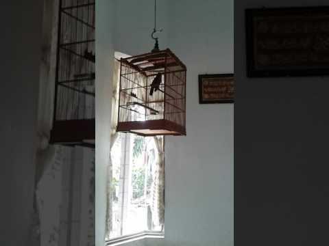 Poksay Medan Betina ngekek panjang | shiki_brebes
