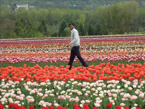 Tulips garden Kashmir  Srinagar_2008
