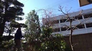 庭の樹木の剪定のタイムラプス動画.