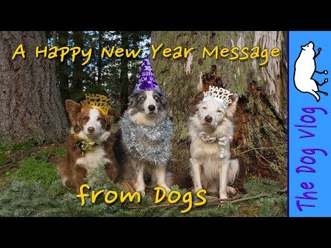 Happy New Year from Dogs (Border Collies)