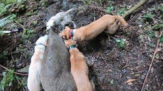 猟犬日誌 #狩猟 #Pighunting #hoghunting #Hunting 【猪猟シリーズ】 こ...