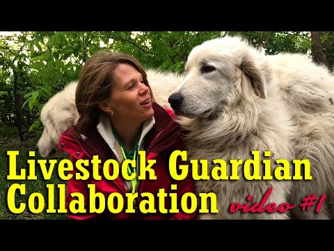 Livestock Guardian Collaboration - Video #1 Chick-a-Woof Ranch