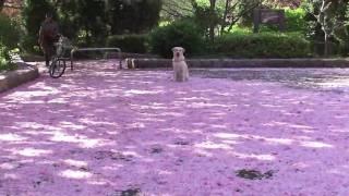 さくらの散歩道。まだ、八重桜が咲き残っていて、昨日の雨で花びらが降...