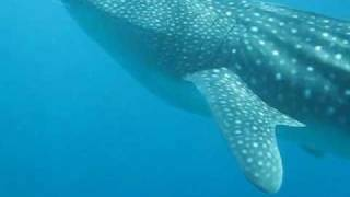 Another whaleshark at Southern Leyte