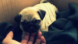 Cute Pug Yawning