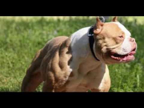 Download cartel de santa - perros (perros pitbull)