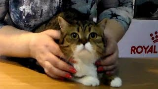 Супер Классная Шотландская Кошка - это Просто Милое Скромное ЧУДО | ПОРОДЫ КОШЕК