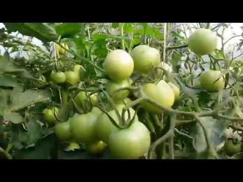 Подробное описание томата Евпатор (фото сорта)