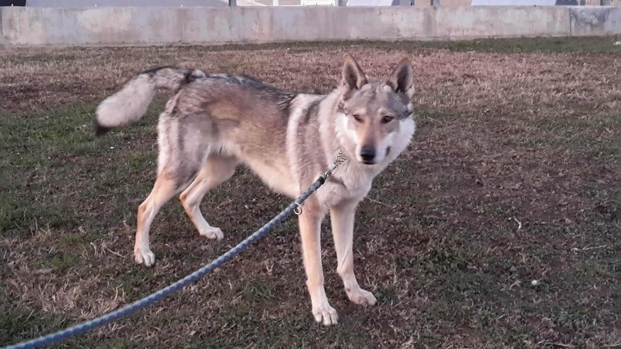 Cane Lupo Cecoslovacco Czechoslovakian Wolfdog Youtube