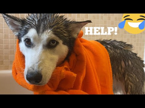 Attempting Bath Time With My Husky Puppy While In Season! [CUTEST STUBBORN PUPPY!]