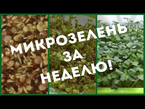 Проращиватель Здоровья КЛАД Х4. Выращивание микрозелени