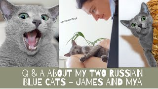 Q&A about my Russian Blue cats  why did we get them & how they has changed us & more| Prettite Life