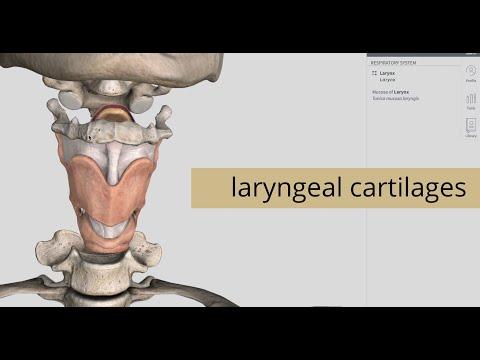 Laryngeal Cartilages | Larynx | Anatomy