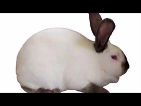 ALTEX Rabbit Breed History   Part 1