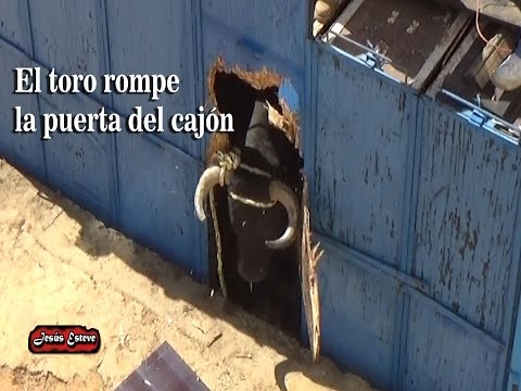EL TORO ROMPE EL CAJON Y SE SALE IMPRESIONANTE