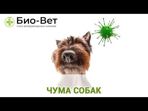 Чума Собак Симптомы и Лечение // Сеть Ветклиник БИО-ВЕТ