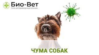 Чума собак. Ветеринарная клиника Био-Вет.