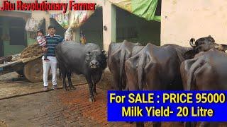 👍FOR SALE: 3rd Timer Murrah Buffalo 20 Litre Milk Yield Available For Buyers @Panipat @Khotpura👍