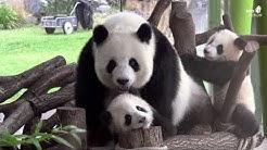 Pandabrüder mit Mama Meng Meng im Zoo Berlin - Panda brothers with Mama Meng Meng