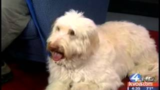 Dog Training Tucson  Gerard Raneri Discusses The Labradoodle Breed On Kvoa 4 Tucson