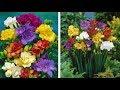 How to Grow Freesias: Summer Garden Guide