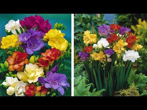 How to grow Freesias video: Jeff Turner plants Freesia bulbs for Summer flower displays