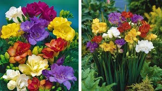 How to grow Freesias video: Jeff Turner plants Freesia bulbs for Summer flower displays