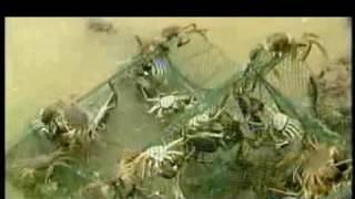 大规格河蟹养殖技术视频(全面详细)