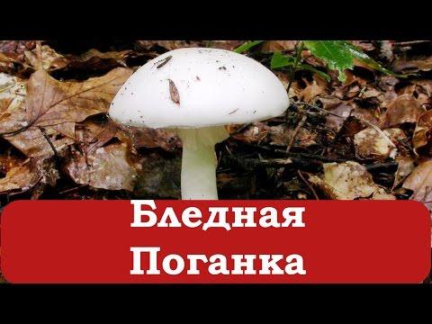 грибы бледная поганка и шампиньон сходство