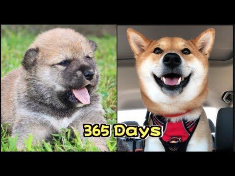 柴犬寶寶365天成长日记|Shiba Inu Puppy 365 Days Growing Up:8 weeks to 1 year