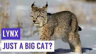 LYNX are just cute WILDCATS Compilation!