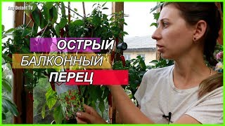 Выращивание перца острого на балконе