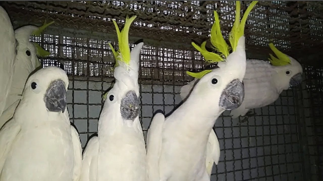 Image result for yellow crested cockatoo