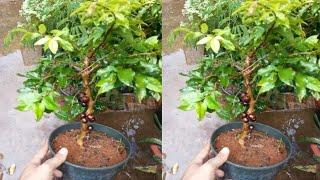 coloque um galho de jabuticaba dentro do vinagre e produza sua própria mudas