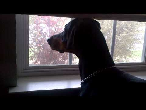 doberman barking at garbage man