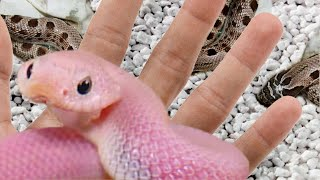 HATCHED PINK HOGNOSE SNAKES!! INSANELY COOL!! | BRIAN BARCZYK