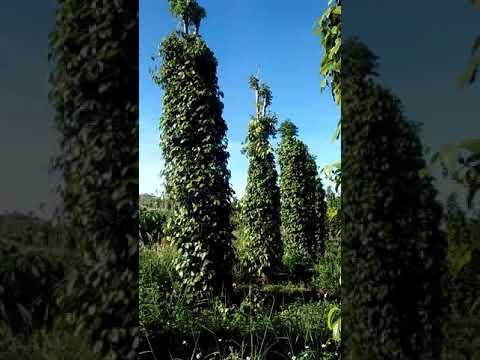 Bán đất nông nghiệp Đăk Nông. 2.5ha. Giá 1.5ty. ĐT : 0824112626 - 0366684228