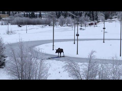 Fisher - People Help Alaskan Moose Escape Ice Rink