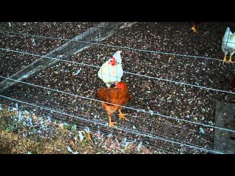 white-rock-hen-screwed-to-death-by-many-dual-purpose-roosters-#23-chickens-day-69