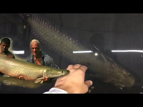 HAND FED A ARAPAIMA IN A HOMEMAID POOL POND