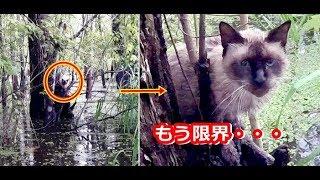 嵐の後の深い沼に立ち往生していた迷子のシャム猫。助けを求め4日間鳴き続け、諦めかけたその時・・・!【nekoの部屋】 嵐 検索動画 14